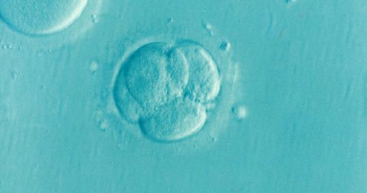 Tranfer di embrioni allo stadio di blastocisti